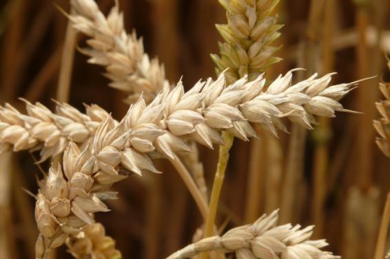 huille vegetale germe de blé